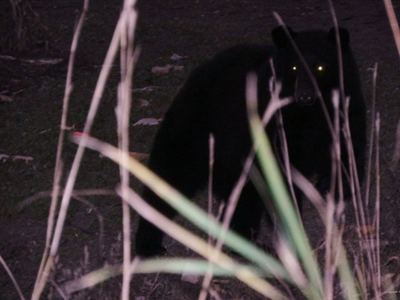 Blackie, up close and personal shot with a camera just a few feet from the author's ground blind.